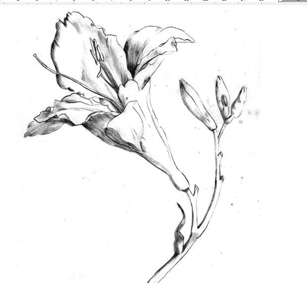 Marína kvet
