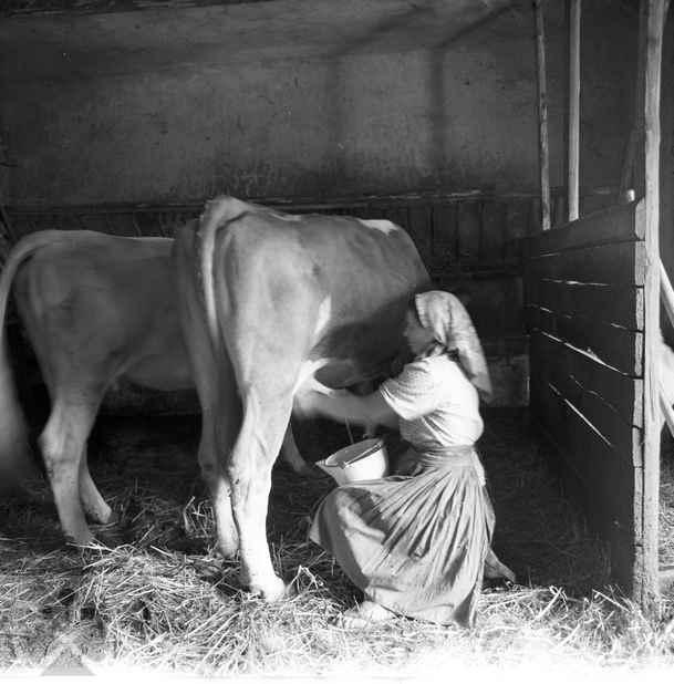 dojenie-kravky